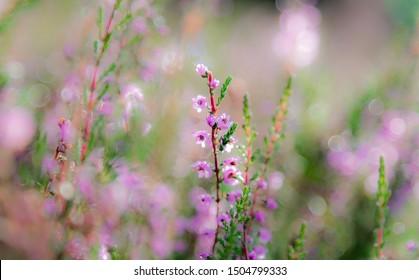 Heather flowers ( names Lyng flowers in danish) with bokeh of morning sunlight in Denmark, Danish wild flowers with beautiful bokeh of sunlight