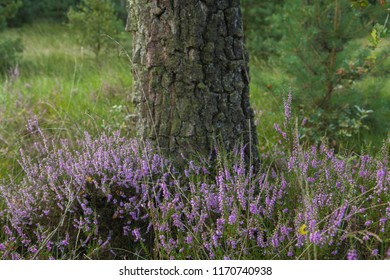 Heather in the forest