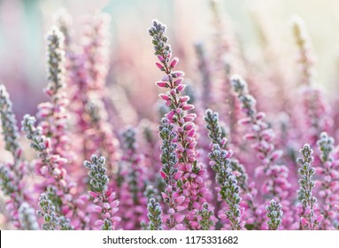 Heather frozen flowers. Bright natural cyan background.