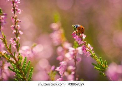 Heather. Ladybug on a bush of wild heather under the evening sun