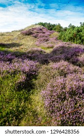 Heather landscape on the island Amrum in the North Sea, Germany