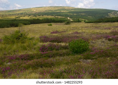 heather meadowin the Krkonose / Giant Mountains in the area of the trail Modre Sedlo in late summer