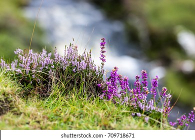 Heather in Moorland of Highlands, Scotland, UK