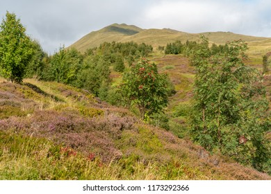 Heather and other heathland plants growing in mid summer on a hillside near the Ben Lawers mountain range in Perthshire, Scotland.