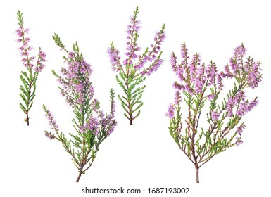 heather with pink flowers isolated on white background