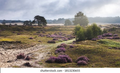 Heather sand drift on the Hulshorsterheide on the northern edge of the Veluwe National Park in the municipality of Nunspeet, Gelderland, The Netherlands. Sunshine after the rain