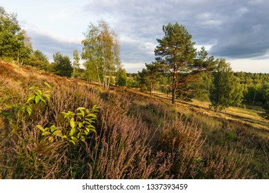 Heather in the Senne, Teutoburger Wald, Germany