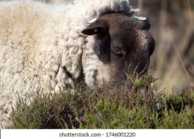 Heather sheep eats heather in Bargerveen, the Netherlands