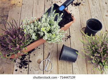 Heather Trowel Preparing the garden for the autumn. Planting autumn flowers in pots, heather in garden, gardening in autumn season