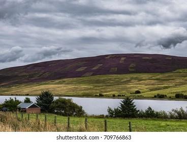 Heathered Hillside Behind Threipmuir Reservoir, Edinburgh, Scotland