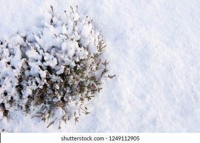 Heathers covered with fresh snow. Winter background.