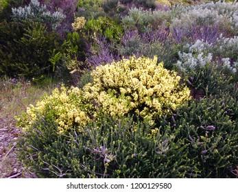 Heathland flowers Pervelley Beach Margaret River Western Australia