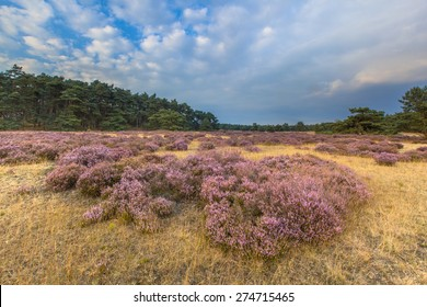 Heathland in national park de Hoge Veluwe around sunset under a clouded sky in August