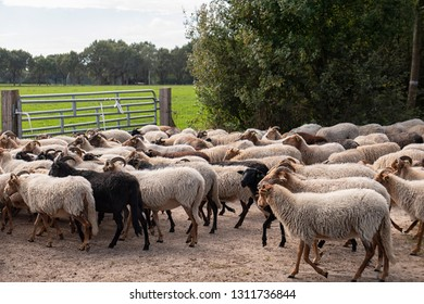 Heathland Sheep from Drenthe