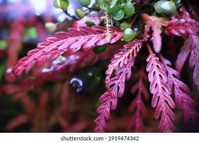 heatlhy  hygrophila pinnatifida in nature aquarium - Shutterstock ID 1919474342