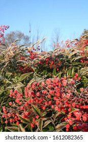 Heavenly bamboo bush with red berries covered with frost. Nandina domestica bush in winter in the garden