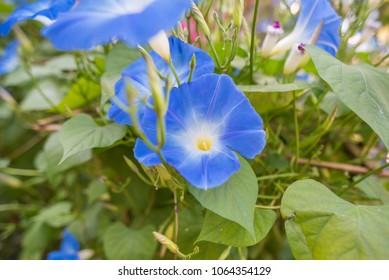 Heavenly Blue Morning Glory flower in the garden day time .