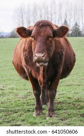 Heavily pregnant brown cow, stood in a field of grass waiting for  the arrival of her calf. Taken in vertical format.