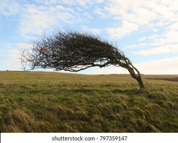 Heavily wind swept tree with gusts off the English Channel in rural East Sussex, England.