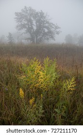 Heavy fog on goldenrod prairie hillside with tree in distance. Shoefactory Nature Preserve, Illinois.