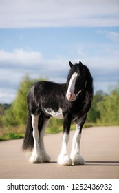 heavy horse Clydesdale stallion stands on an asphalt road in the summer against the blue sky