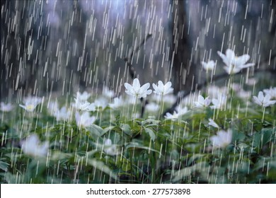 heavy rain over spring forest. Carpathian spring flowers.