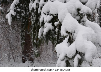 A heavy snow coating on the pine branches dragging them down to the ground after an early winter heavy snow.