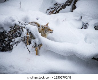 Heavy snowfall surrounds golden Coyote hunting.CR2