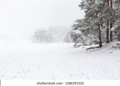 Heavy snowing and pine trees on the Soesterduinen in the Netherlands.