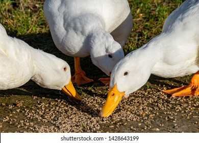 Heavy white ducks (pekin duck also known as long island or aylesbury duck)