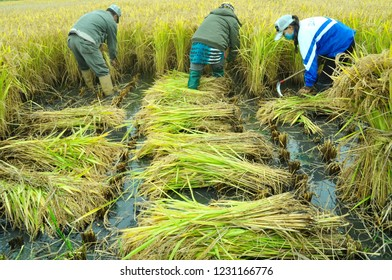 China Rice Workers Images Stock Photos Vectors Shutterstock