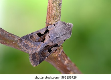 Hebrew Character Moth, Orthosia gothica. At rest a twig in spring. Landscape.
