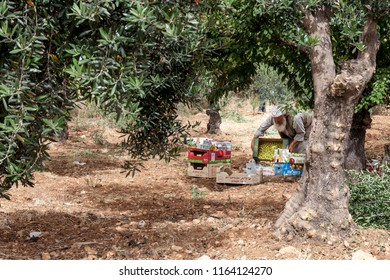 Hebron, Palestine, June 4, 2014: An elderly Palestinian man is collecting fruits in a garden in a hot sunny day.