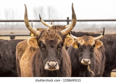Heck cattle, cow and bulls on wintry pasture with open stablel, rear breeding of the Auerochsen, nature park Droemling, Saxonia-Anhalt, Germany