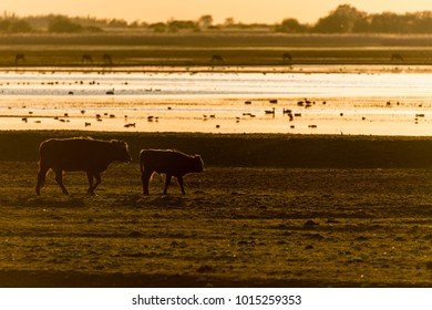 Heckcattle (cow and calf) walking in meadow, backlit during sunset. Birds and deer in background in nature reserve Oostvaardersplassen, The Netherlands