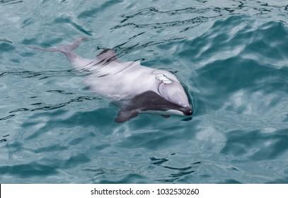 Hector's Dolphin (Cephalorhynchus hectori), the world's smallest and rarest marine dolphin, Akaroa Harbour, New Zealand