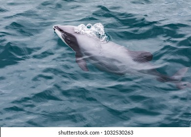 Hector's Dolphin (Cephalorhynchus hectori), the world's smallest and rarest marine dolphin, Akaroa Harbour, New Zealand
