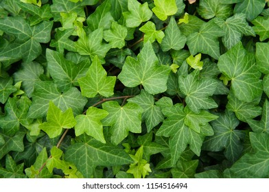 Hedera helix or california ivy green plant background