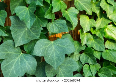 Hedera helix or common ivy
