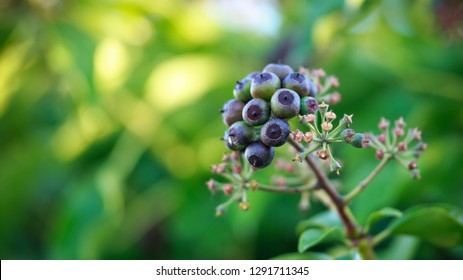 Hedera helix (common ivy, English ivy, European ivy) with fruit berries