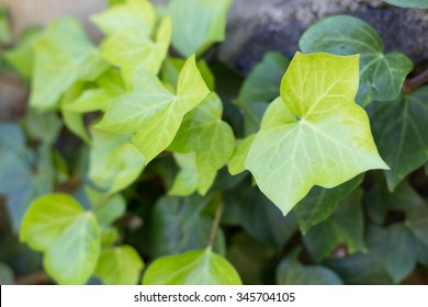 Hedera helix (Common Ivy, English Ivy)