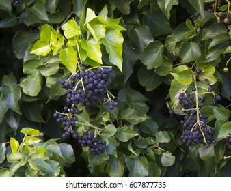 Hedera helix (common ivy, English ivy, European ivy)  a species of  vigorous flowering plant in the family Araliaceae, with ripe black fruit covering trees  and fences  can be vigorously invasive.