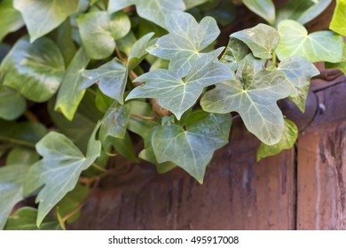 Hedera helix leaves on a wooden door.