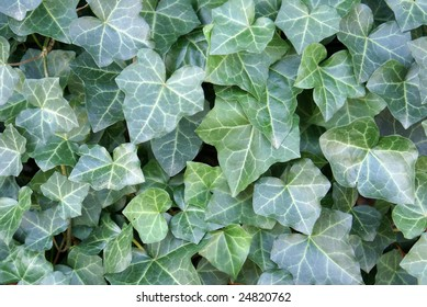 Hedera helix patch