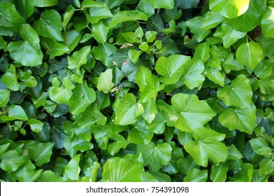 Hedera hibernica or irish ivy green climbing plant