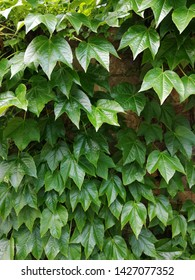 hedera or ivy green background