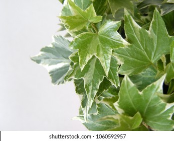 Hedera leaves in closeup - ivy plant growing with decorative texture. Climber herb in green house design. Flower market offer for home and garden decor. Image with white background.