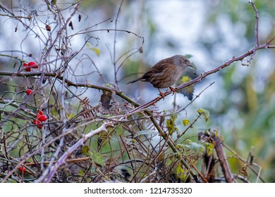 Hedge Accentor or Dunnock on a briar in winter