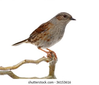 hedge accentor on a branch, on white
