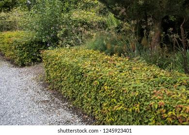 Hedge of Carpinus betulus or hornbeam.